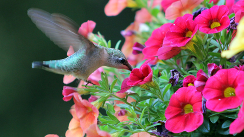 Hummingbird Festival Offers Close-up View of Hummingbirds