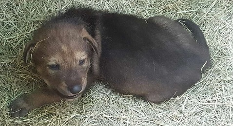 Zoo Knoxville invites community to help name red wolf pup