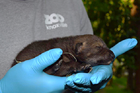 Zoo Knoxville announces birth of critically endangered red wolf
