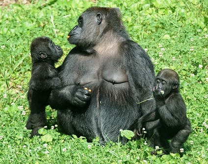 Zoo Knoxville throwing gorilla babies a birthday party The