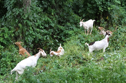 Goats help improve City parks by chewing on kud(zu)