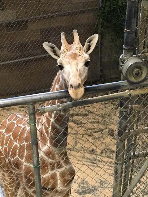 New giraffe arrives at Zoo Knoxville