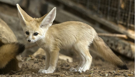 Pet foxes on leashes in county parks a no-no!